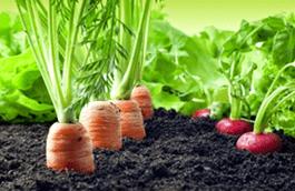 9-min.pngсовместные посевы редиса с морковкой и луком