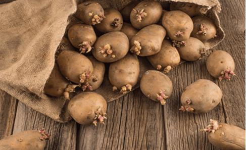 Подготовка посадочного материала для картофеля