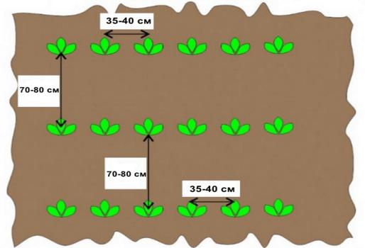 В лунки или борозды сажают на легких почвах