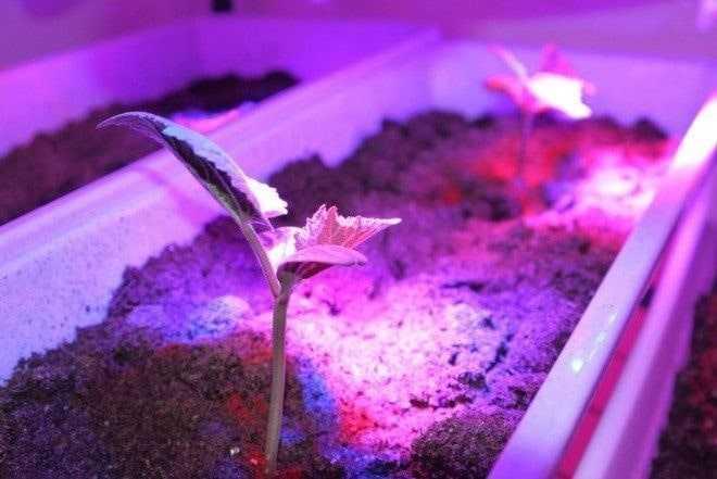 Выращивание томатов по фитолампой