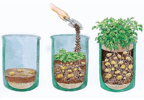 Посадка картофеля в бочки