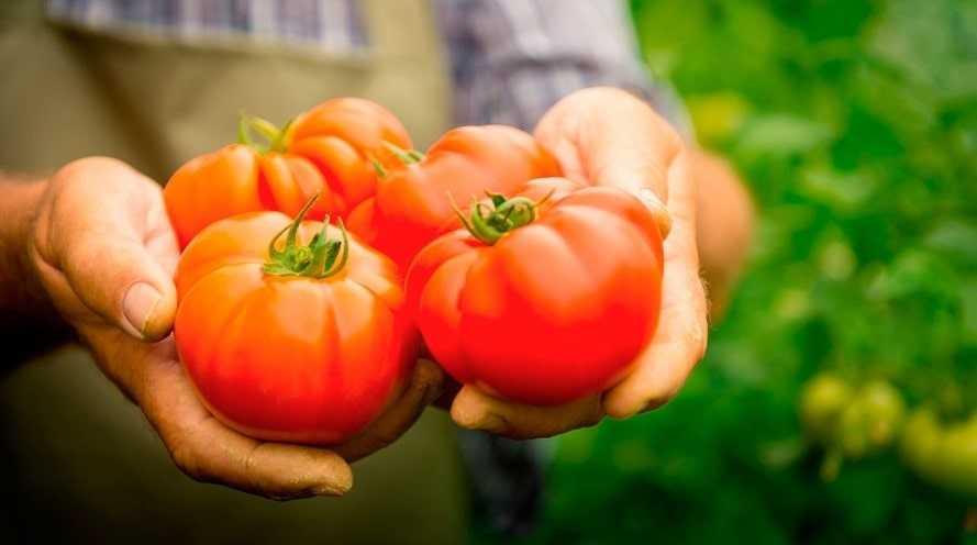 Уборка урожая помидор