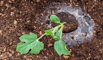 Высадка рассады арбуза в открытый грунт